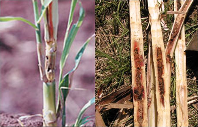 Ento 331 lecture 12 pest of sugarcane for What are internodes