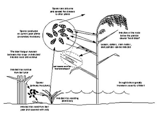 rice    fungal diseases    blast