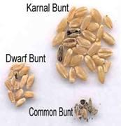 karnal bunt of wheat pdf